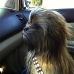 Chewie no jardim de infância