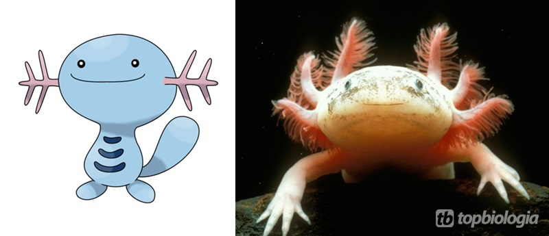 wooper-mexican-axolote
